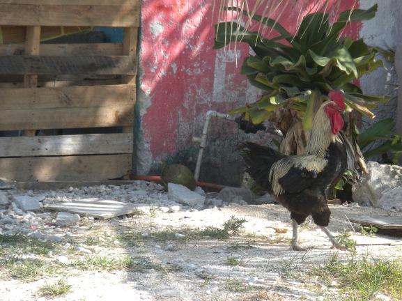 Free range rooster.